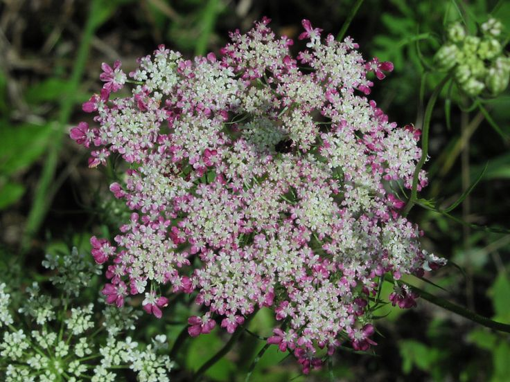 Queen Anne  39 s lace image   Controls Tent Caterpillars by attracting natural predators like flies and. 17 Best images about Pest Control with Plants on Pinterest