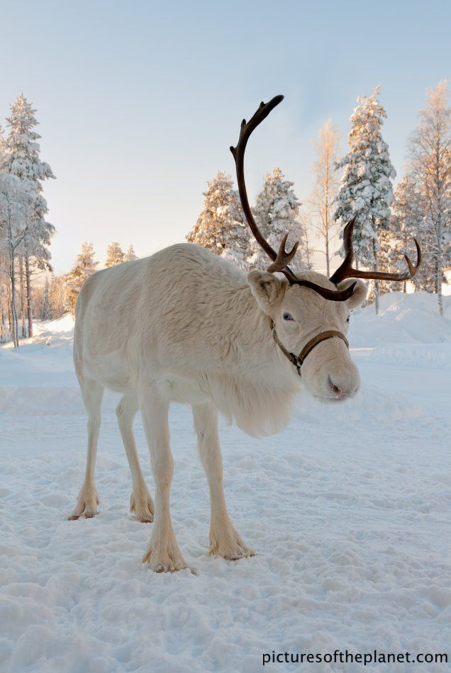 White reindeer with Over 410 Different Wildlife Treasures. http://pinterest.com/njestates/wildlife-treasures/