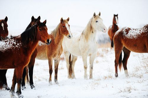 Beautiful horses in winter.