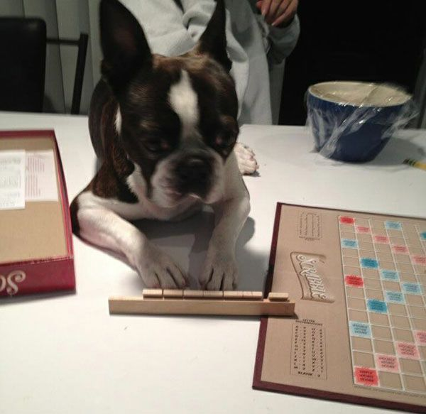 The Boston Terrier Dogs are smart enough so these dogs can also play Scrabble. Here is one from Chicago.