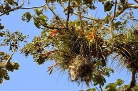  Nome Científico:  Maya Tillandsia   Nome Popular: Tillandsia Maya   Família: Bromeliaceae   Subfamília: Tillandsioideae    Origem: Gua...
