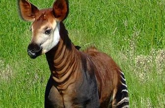 """OKAPI - Cryptid Name: Atti  Location: Africa  The Myth: For years, explorers visiting Africa were told about a striped """"African unicorn"""" that was believed to be some sort of rain-forest zebra. Eventually, one explorer befriended a group of Ugandan villagers who shared more information about the animal and offered him a skull from one of the creatures. Upon further inspection of the skull, the animal was classified as a member of the giraffe family and called the okapi"""