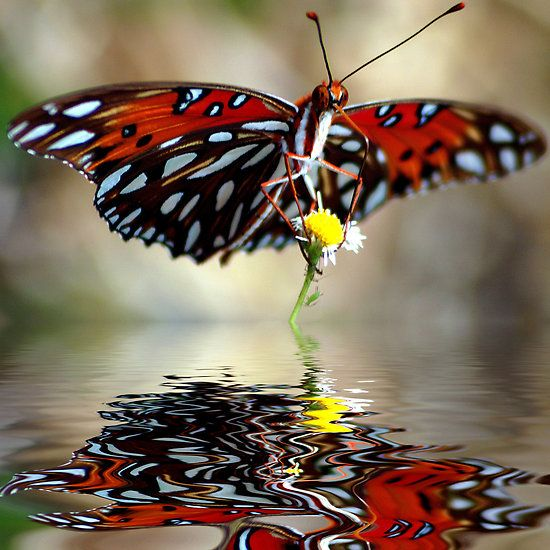 ~~ Reflection ~~ beautiful butterfly - black, red, and white ... <3 www.24kzone.com
