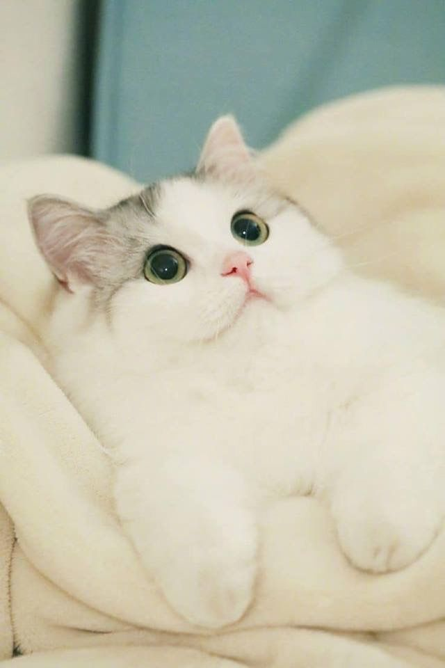 Ghim Của Andrea Ville Tren Cute Lil Creatures Meo đẹp động Vật Meo Kitty
