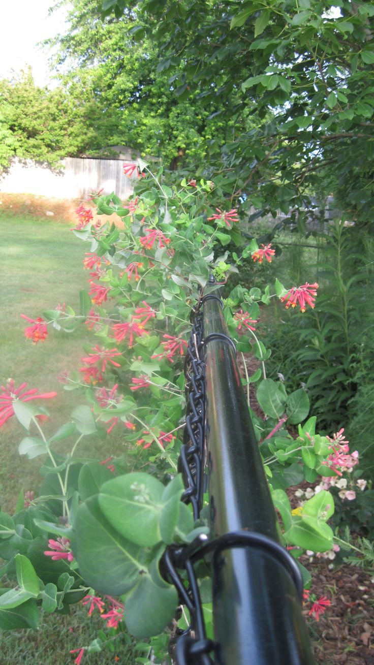 64 best images about fence covers on pinterest chain for Fast growing climbing plants for screening
