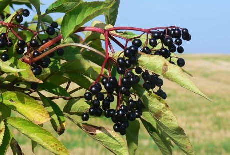 Moje pravdy - Recepty z plodů černého bezu