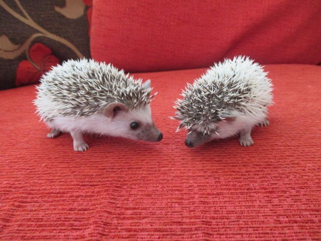cute african pygmy hedgehog Cars For Sale