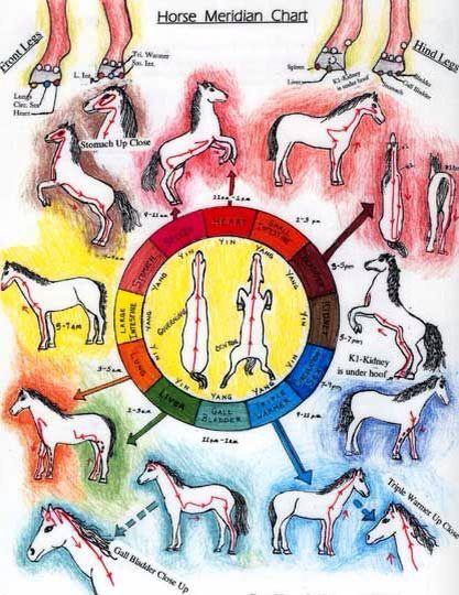 W tradycyjnej medycynie chińskiej też leczy się zwierzęta przy wykorzystaniu akupunktury i ziołolecznictwa. Obrazek pokazuje aktywności narządów wewnętrznych w przełożeniu na energię yin i yang. Pokazane są też meridiany, które są szczególnie aktywne w określnym czasie. Wielu zawodowych handlarzy koni często poddaje swoich pupili takim zabiegom.  W akupunkturze konia wbija się nawet około 300-400 igieł do akupunktury. Są to sytuacje jednak niezwykle rzadkie.  Enji