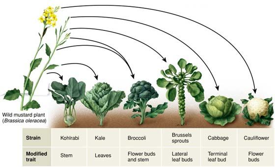 In agriculture, superior corn, wheat and soybeans are the result of selective breeding. The Brassicas (cabbage, broccoli, cauliflower, brussels sprouts, collards and kale) are great examples of artificial selection.