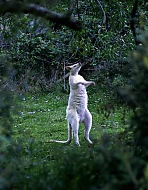 White wallaby