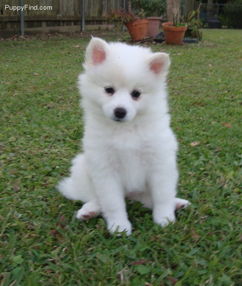 Miniature American Eskimo. The puppy im getting in two weeks!                                                                                                                                                                                 More