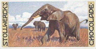 Elefanti, 1903-4