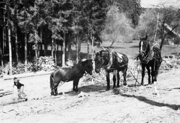 Internamento in Svizzera. Reiden: disboscamento della foresta, una radura e cavalli adibiti al trasporto dei tronchi tagliati.