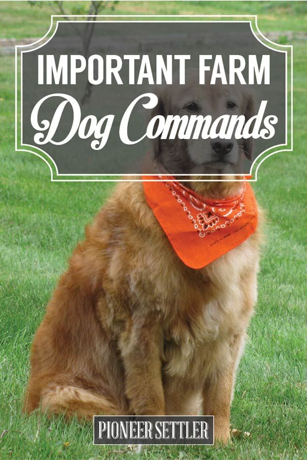 Check out Important Farm Dog Commands Every Homesteader Should Know at http://pioneersettler.com/important-farm-dog-commands/
