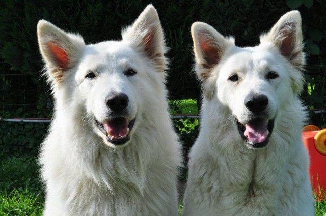 berger blanc suisse dog photo | berger blanc suisse - Éleveur canin - Royal Canin - Eleveurs