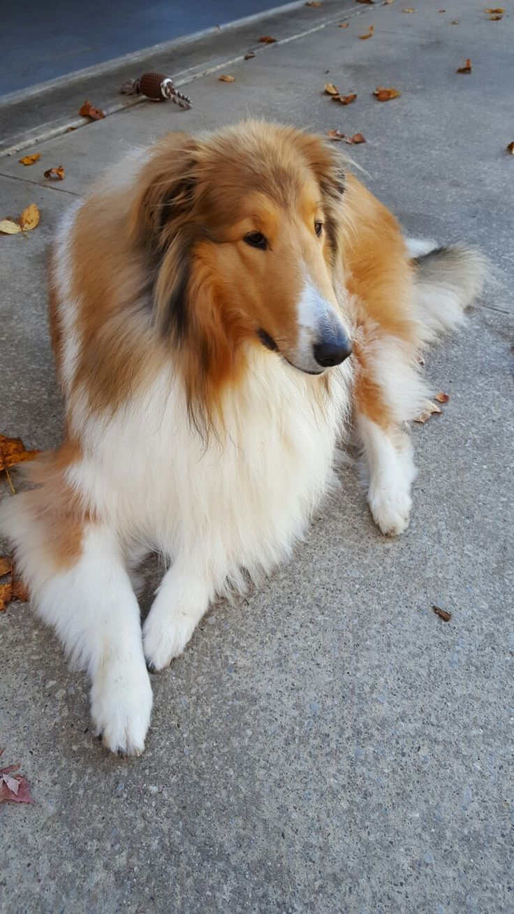 Pin by Mary Kay on Интерьер in 2020 Rough collie, Dog