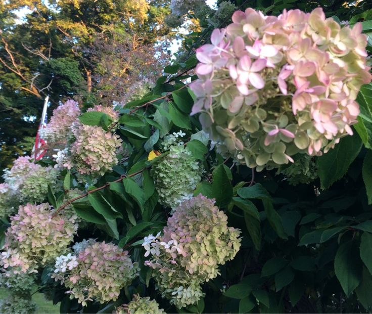 25 b sta hydrangea paniculata grandiflora id erna p. Black Bedroom Furniture Sets. Home Design Ideas