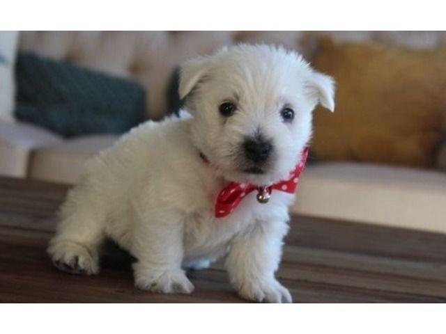 Exceptional West Highland White Terrier Puppies Ready For Sale Westie Puppies For Sale White Terrier Terrier Puppies