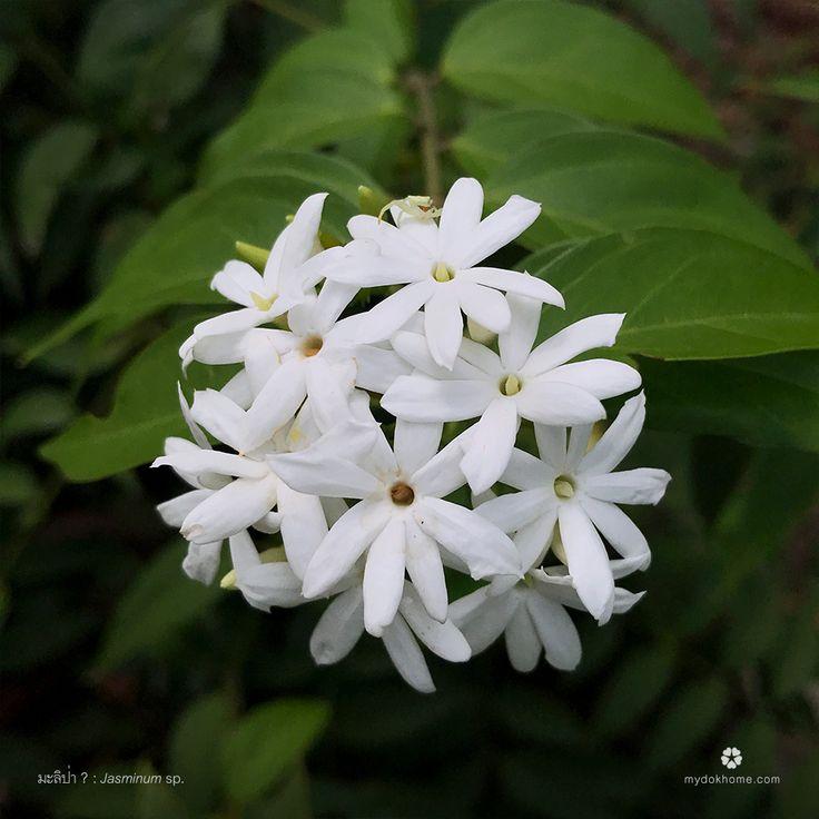 ดอกมะลิ: 78 Best พรรณไม้ดอกหอม ไม้ดอกไม้ประดับ Images On Pinterest