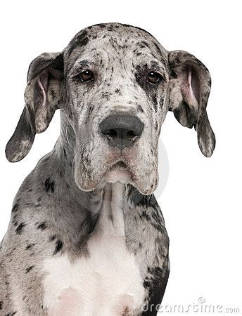 close-up-great-dane-puppy-3-months-old