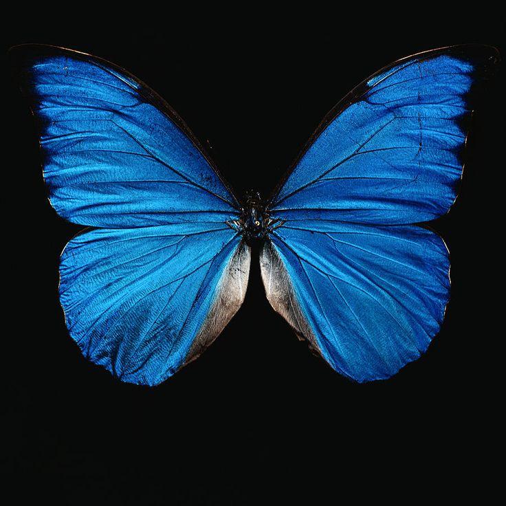 Синие бабочки на черном фоне картинки