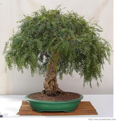 Bonsai pirul schinus bonsai inspiration pinterest - Cultivo de bonsai ...