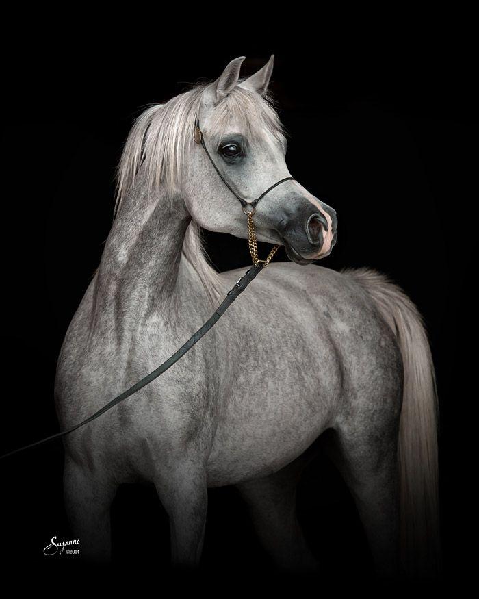 Black Arabian Horse Art | www.pixshark.com - Images ...