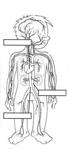 Resultado de imagem para sistema cardiovascular para completar