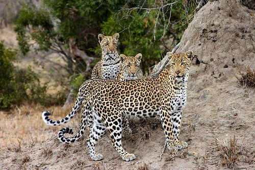 Een moeder luipaard met haar kleintjes. Wist je dat de luipaard meerdere ondersoorten heeft? http://www.stichtingspots.nl/index.php?page=244 (foto: Baz In Briz)