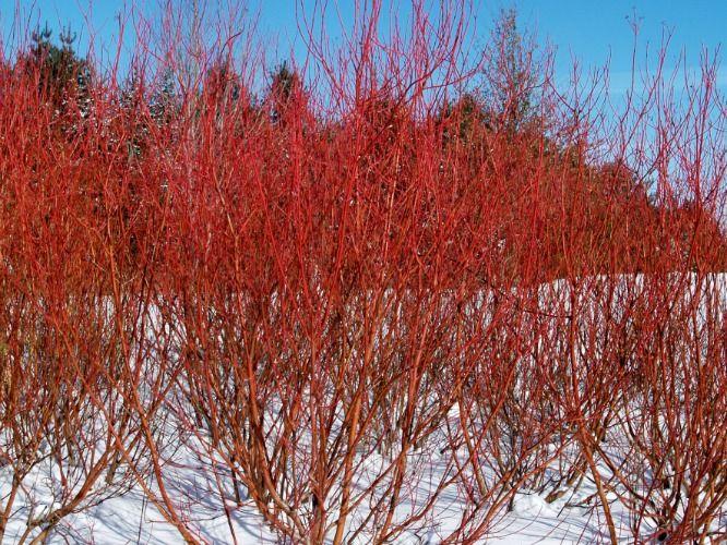 6 red twig dogwood  cornus sericea  u0026 39 cardinal u0026 39   photo  leif knecht