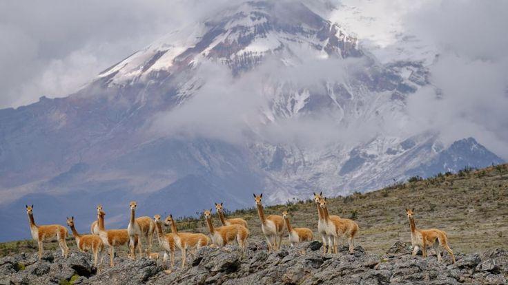 Mount Chimborazo, Ecuador: Vicunas -- believed to be the wild ancestors of domesticated alpacas