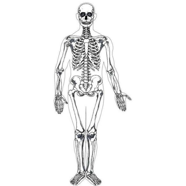 Human skeleton printable realistic