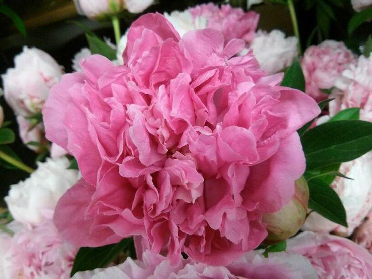 Peonias cultivadas en la finca de Bourguignon | Bourguignon Floristas #flowers #peonias