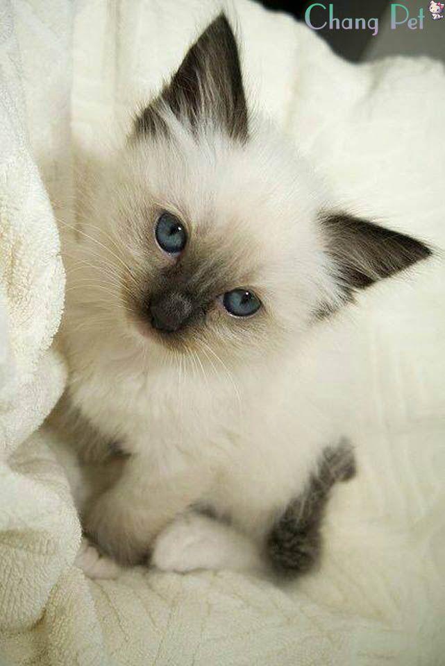 Siamese 16 Pretty Cats Cute Cats Kittens Cutest