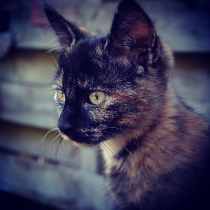 Kitten sibel