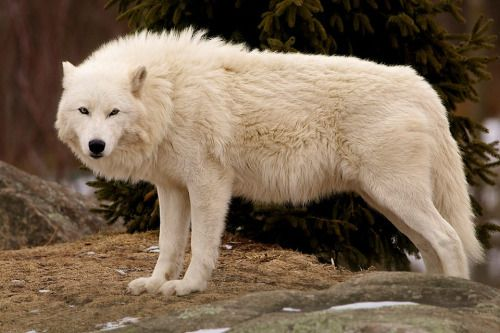 Beau Loup Blanc <3 <3 <3
