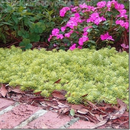 Sedum Florida Friendly Gold and other outstanding succulents