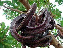 Carob seeds, also known as locust beans, are used as animal feed, and are the source of locust bean gum — a food thickening agent. Crushed pods may be used to make a beverage; compote, liqueur, and syrup are made from carob in Turkey, Malta, Portugal, Spain and Sicily