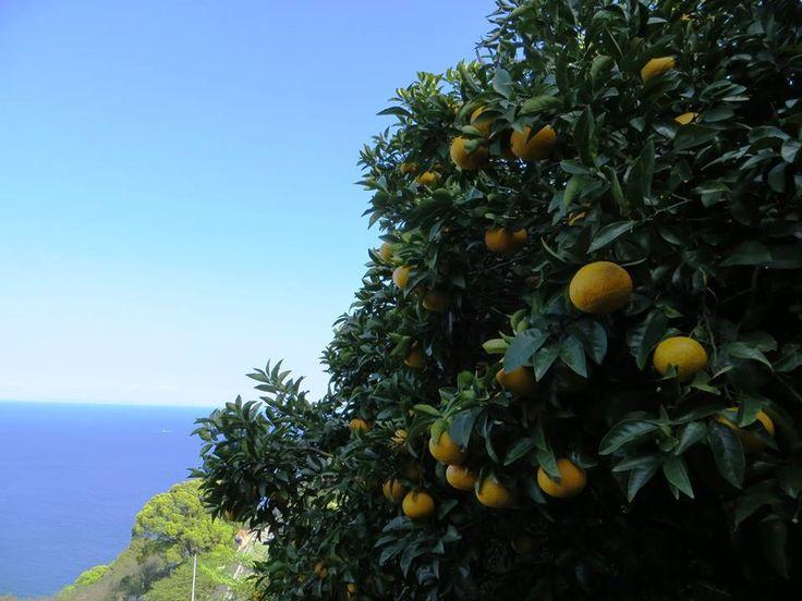 1月24日の誕生日の木は「ナツミカン(夏蜜柑)」です。  ミカン科ミカン属の常緑小高木です。ザボンとコトウカンの交配種で、山口県青海(あおみ)島が原産地とされ、原木は史跡及び天然記念物に指定されています。 ナツミカンの果実は、他のミカン類と同様に晩秋には黄色く色付きます。しかしその時点では酸味が強すぎて生食には向きません。春先から初夏まで実をそのまま木成りさせ、完熟させる事で酸が抜け食べられるようになります。初夏の時期にやっと食べられるミカンと言う事で、ナツミカンと呼ばれるようになったといわれています。
