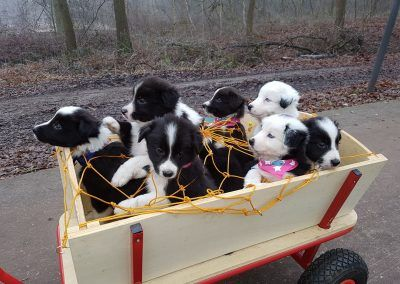 Nothing to see here except.... a wagon full of cute border collief puppies!