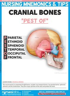 "Cranial Bones: ""PEST OF"" The neurocranium is comprised of eight bones: occipital, two temporal bones, two parietal bones, sphenoid, ethmoid, and the frontal bone. They form major portions of the skull and protect the brain. For more nursing mnemonics, visit: http://nurseslabs.com/anatomy-and-physiology-nursing-mnemonics-tips/"