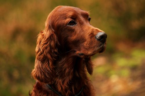 I had an irish setter like this one, named Red. He was such a good dog, very hyper!