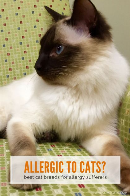 No cat is 100% hypoallergenic - but there are suitable cat breeds for people with allergies | Best Cat Breeds for People with Allergies - Tap the link now to see all of our cool cat collections!