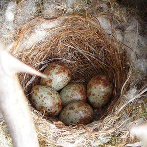 Identifier les nids et les oeufs des oiseaux des villes et des jardins   Ornithomedia.com