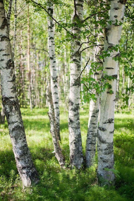 birches.