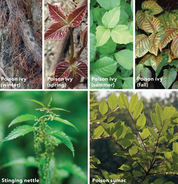 Poison Ivy vs Poison Oak
