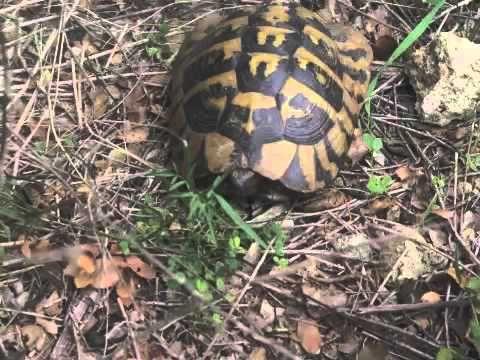 Wild Turtle Corfu