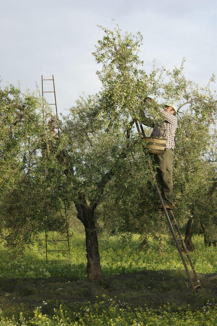 Recolectado a mano las Aceitunas Ecologicas. Hand picked the green olives. October. #Tartessus #AOVE #EVOO