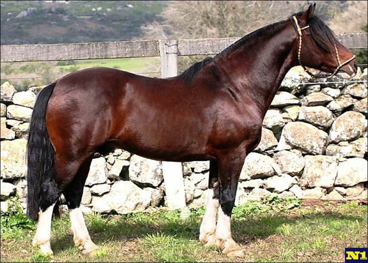 Criollo horse - The Criollo (in Spanish), or Crioulo (in Portuguese), is the native horse of Uruguay (1910), Argentina (1918), Brazil (1932) and Paraguay. It may have the best endurance of any horse breed in the world next to the Arabian. In fact, due to the criollo's low basal metabolism, it may be a better long-distance horse than the Arabian in prolonged races over a week in duration with no supplemental feed.