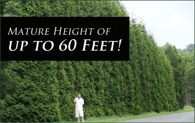 OMG, what have i done?  Green Giant Arborvitae.  So this is what 60 ft looks like.  LOL
